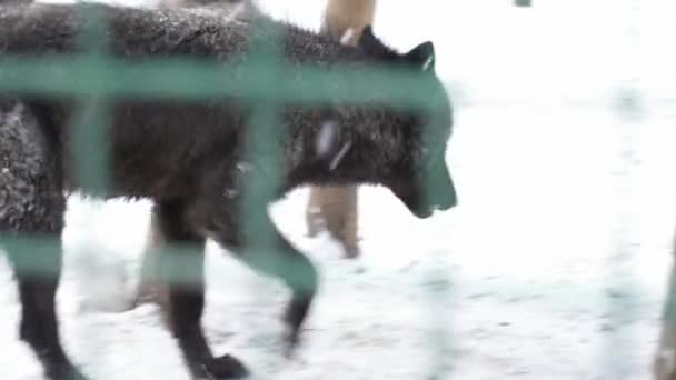 Black wolf walking in the cage on snow