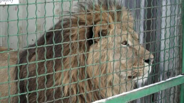 Closeup Lev v kleci v zoo