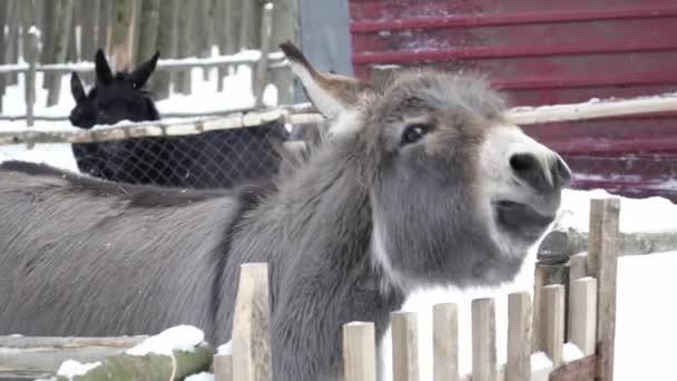 Closeup of donkey looking at the camera