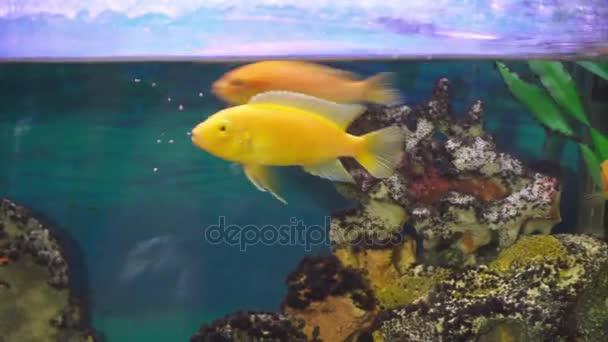 Zlatou rybku v detailním rybí nádrže