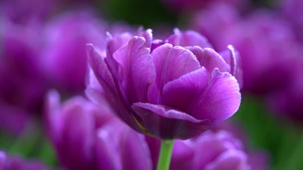 Closeup fialového tulipánu na louce