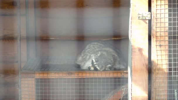 Cute racoon sleeping in the cage during the summer