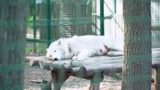 Alaszkai fehér Farkas egy állatkertben