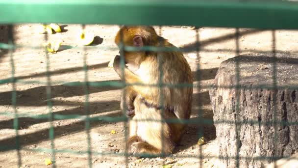 Closeup of a red monkey in the cage in the zoo