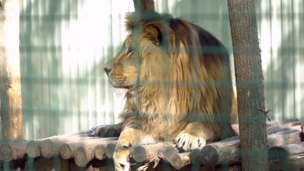 Beautiful lion laying in the cage closeup