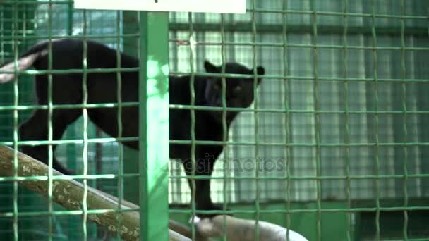 Big black cheetah in the cage in the zoo