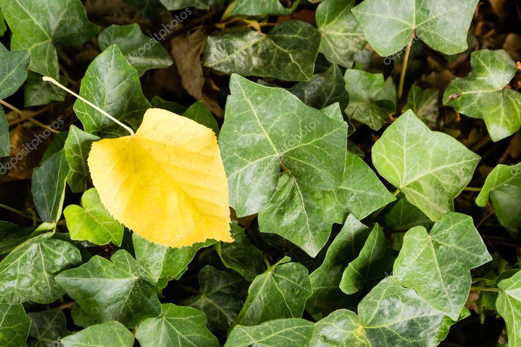 Single yellow leaf among green leaves