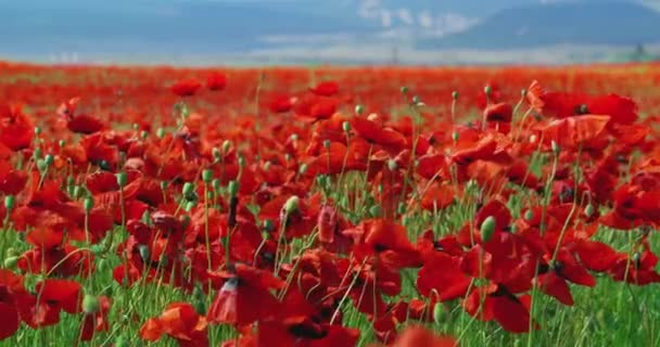 Field of Blossoming Poppies on a Background of Blue Sky in the Street the Day