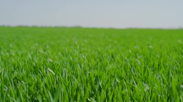 Green field with young wheat, winter wheat