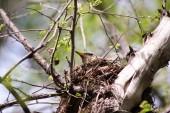 Un uccello su un ramo nel nido. Foto