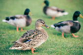 Fotografie Domestic ducks on green grass