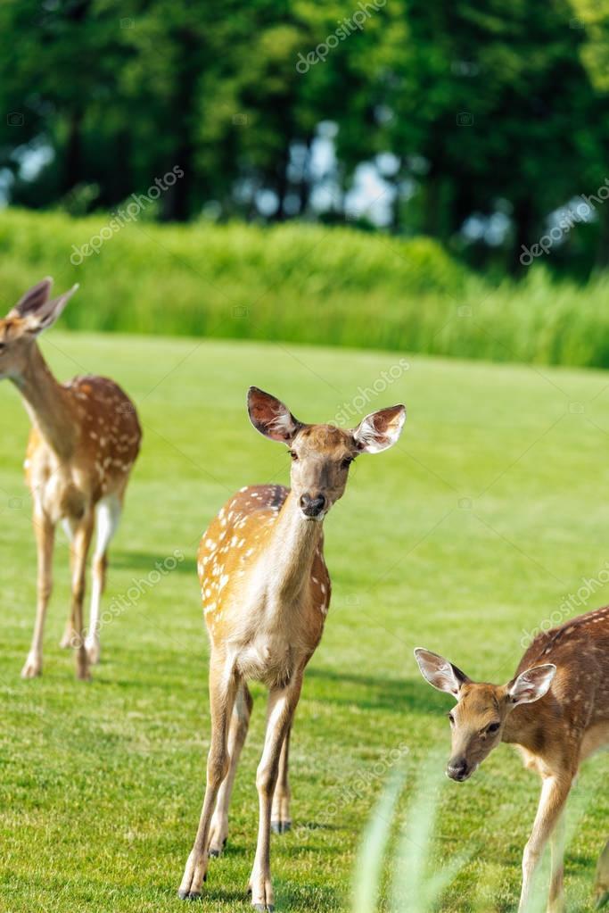 Herd of beautiful young brown deer standing on green meadow in park stock vector