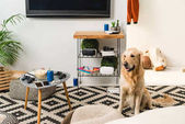Photo funny retriever dog sitting on carpet in room