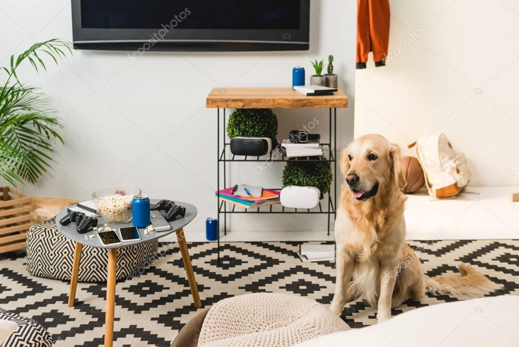 funny retriever dog sitting on carpet in room