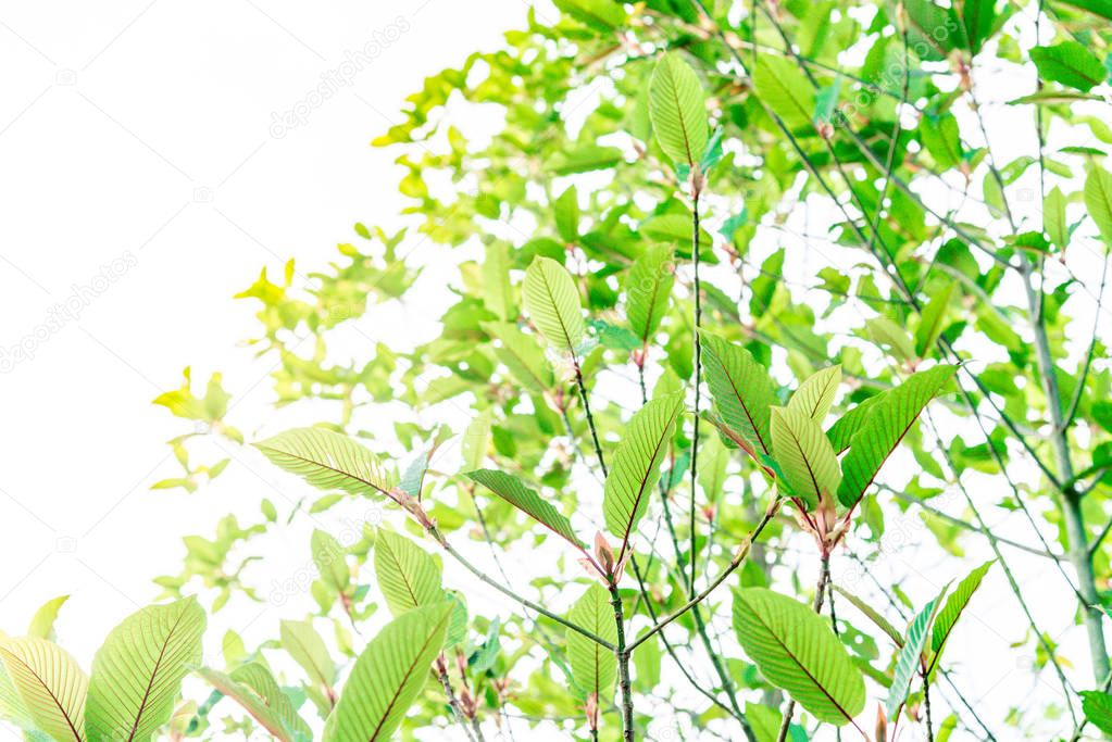Mitragyna speciosa Korth. Located in the family Rubiaceae. The leaves eaten as a drug It is a medicinal plant and is addictive. Isolated this has clipping path with weather background