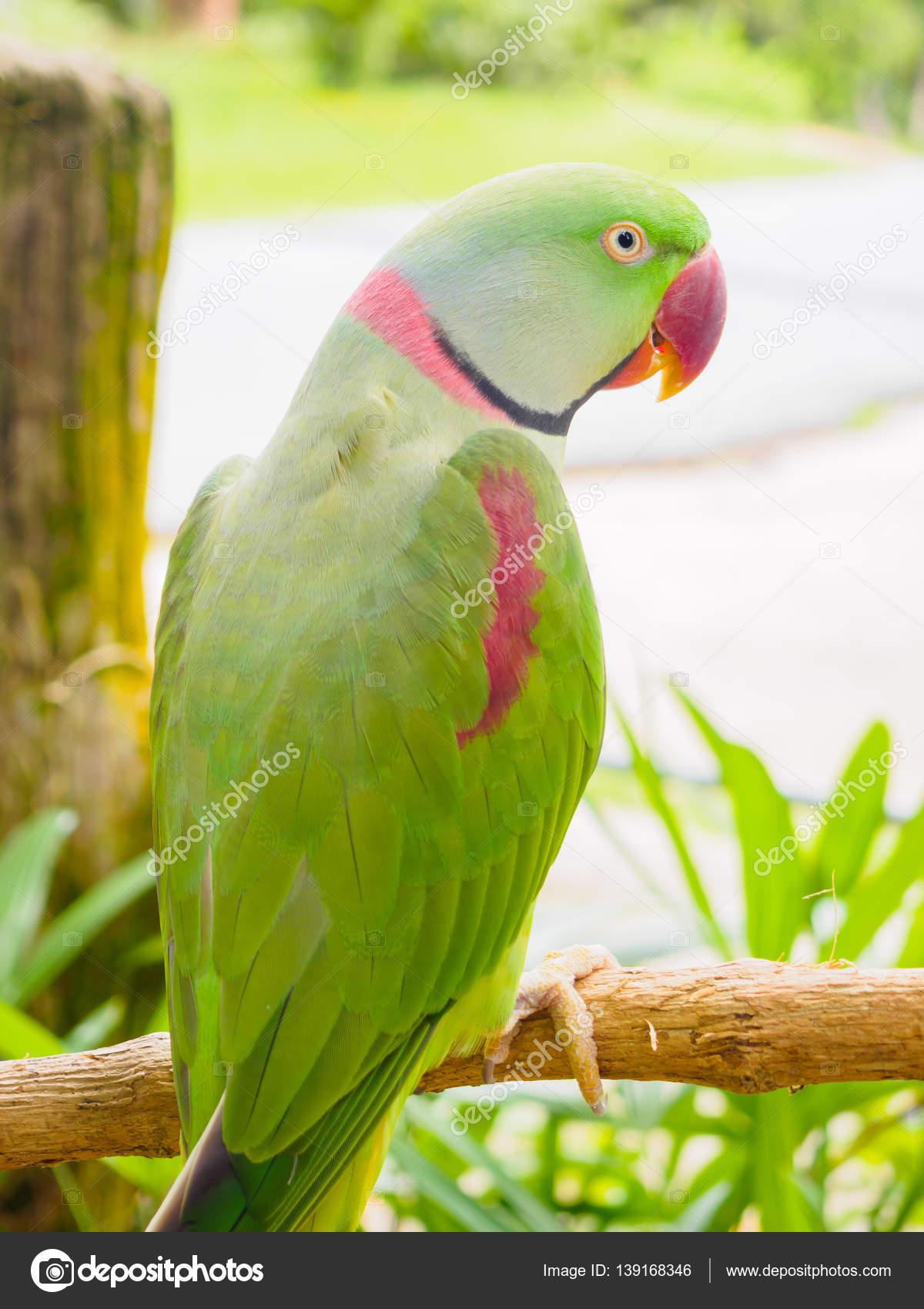 Perruche psittacula krameri galement connu sous le nom for Oiseau vert et rouge