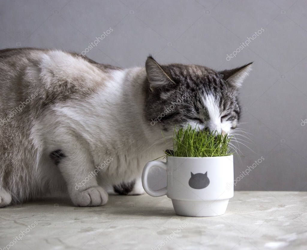 the cat is eating grass from a white cup