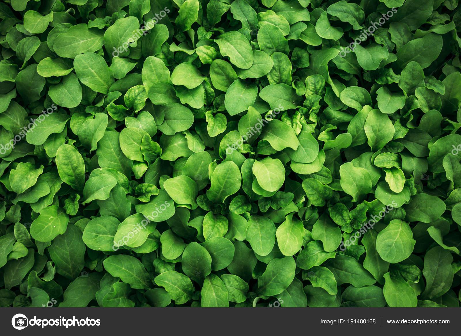 Arriere Plan De Feuille Verte Blanc Feuilles Petunia Texture Photo