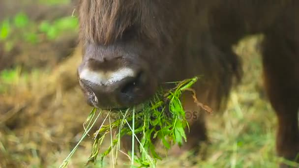 A bison eats grass