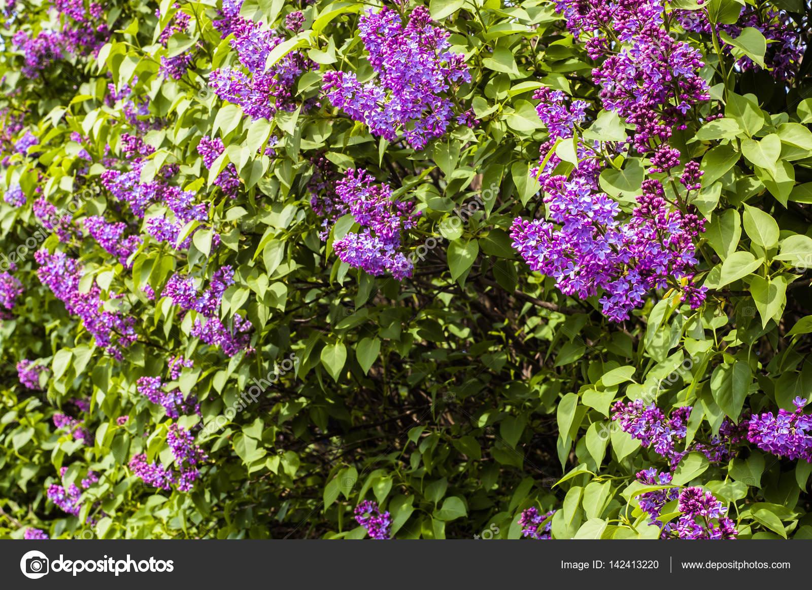 garten blumen lila, blumen lila, frühling blüten im garten — stockfoto © alicjane #142413220, Design ideen