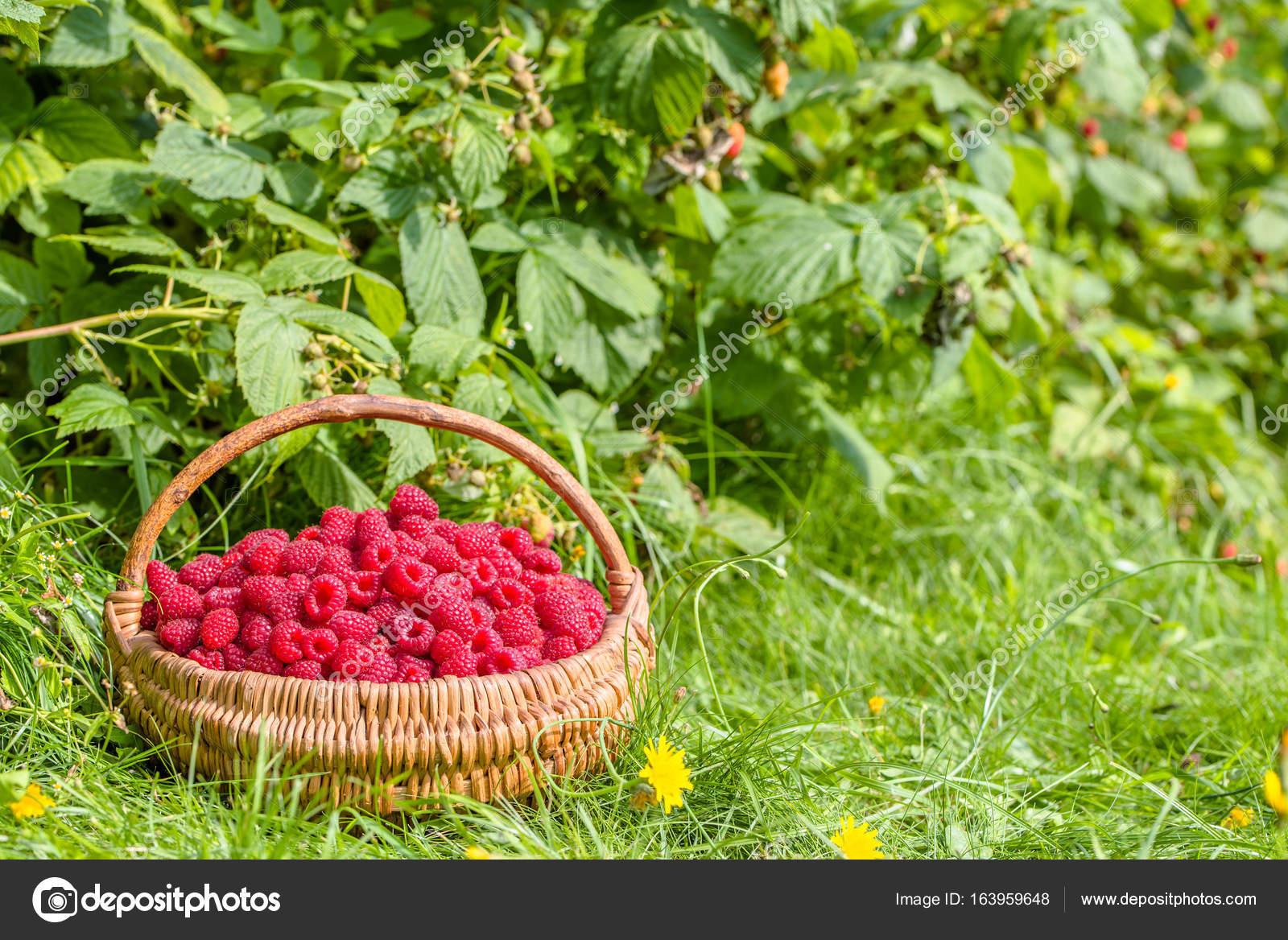 Korb Mit Himbeeren Im Garten Unter Himbeersträucher Stockfoto