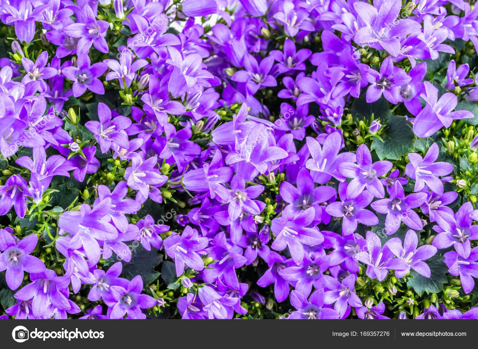 Fotografie Cellulare Primavera Campanula Di Sfondo Viola Fiori