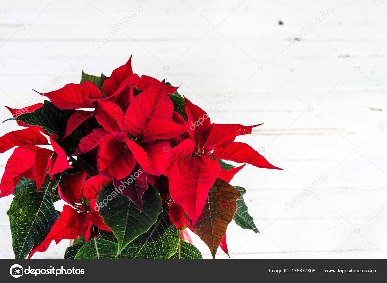 christmas card with poinsettia flower christmas decoration on white background photo by alicjane