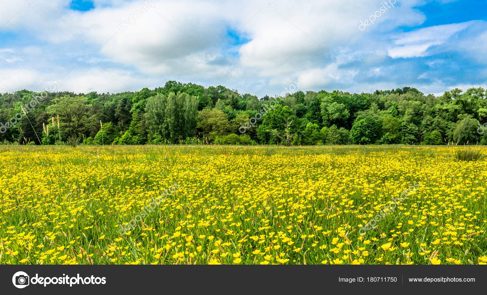 Yellow flowers field landscape background spring blooming meadow yellow flowers field landscape background spring blooming meadow buttercup flower stock photo mightylinksfo