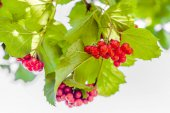 Viburnum red berries in the garden. Ripe fruits clusters on green branch.
