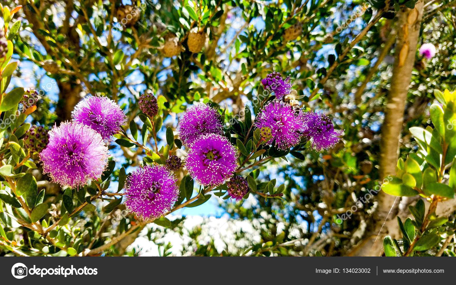 Pink fuzzy flowers on a tree during a summer day stock photo pink fuzzy flowers on a tree during a summer day stock photo mightylinksfo