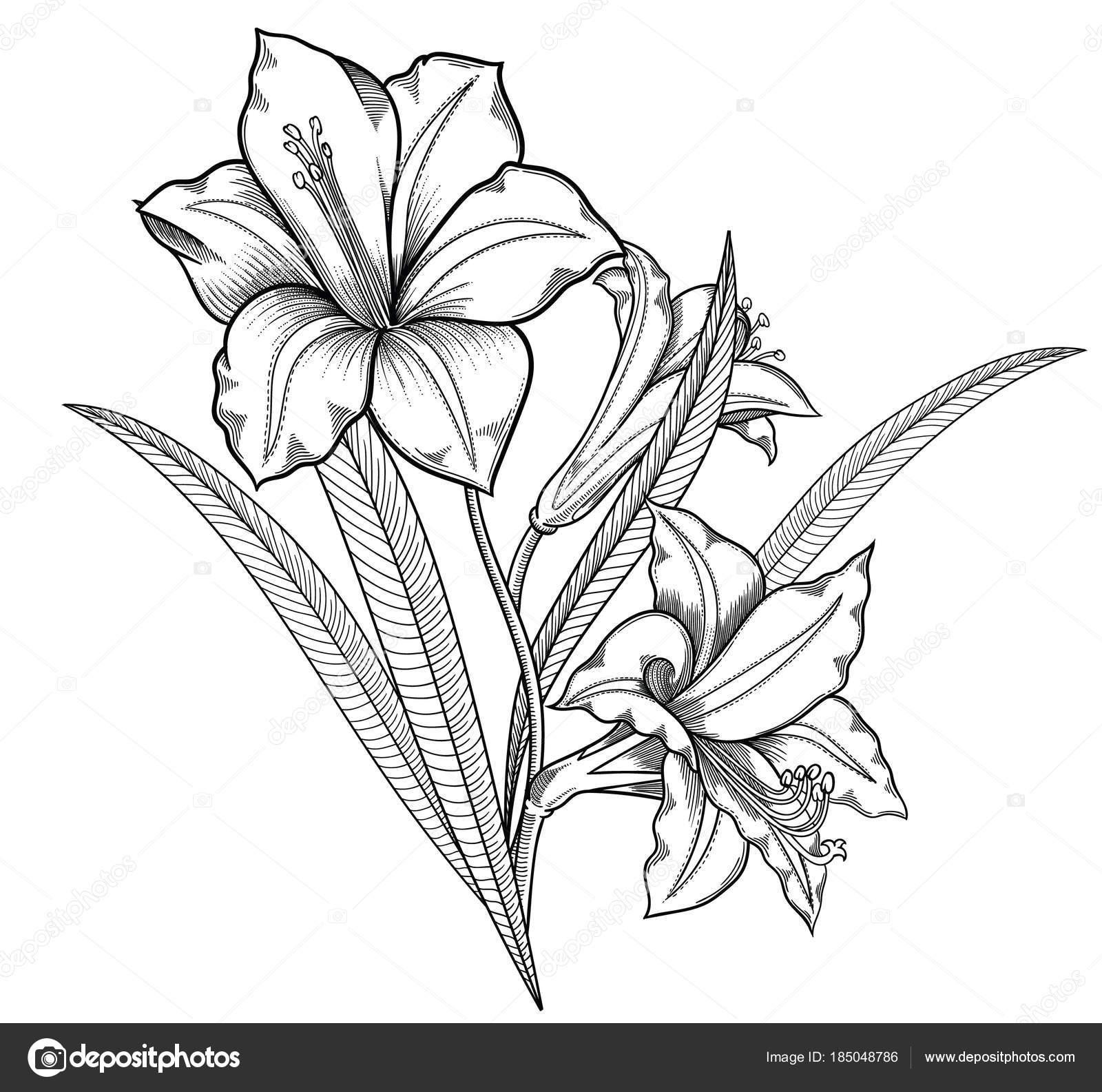 Bluhende Lilie Blumen Detaillierte Handgezeichnete Vektor