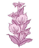 Hand drawn purple blooming callas flowers. Detailed illustration of decorative calla lily flowers in line style isolated on white background. Accurate hand drawing of romantic calla lilies.