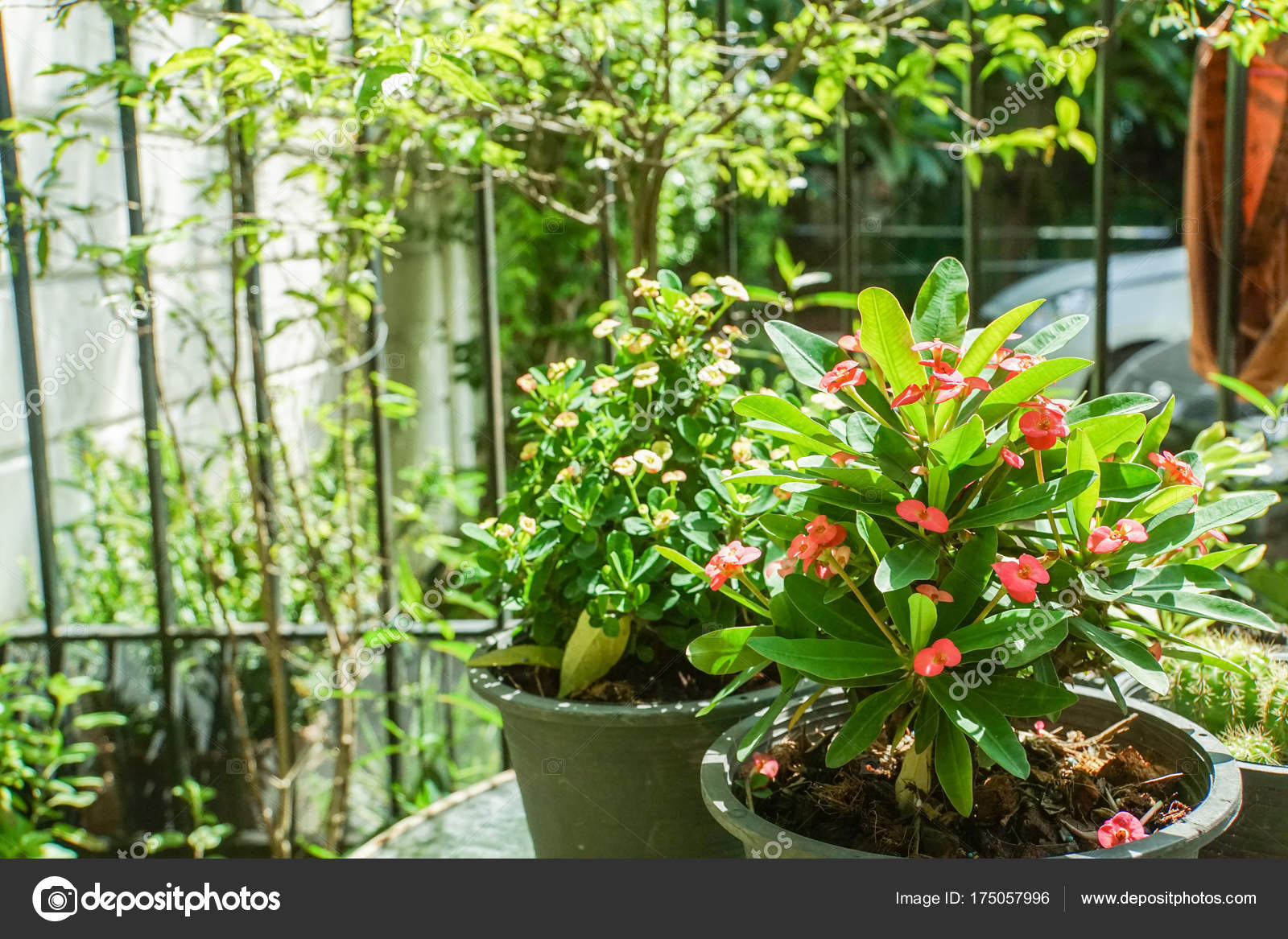 Decorazione Vasi Da Giardino : Euphorbia milii piccolo rosso vaso casa giardino decorazione u2014 foto