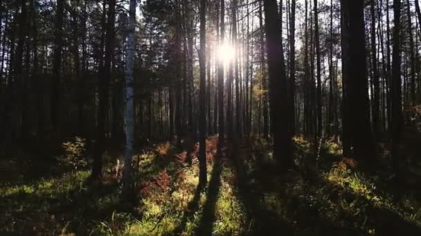 Krásný les s dlouhou stromy kufry, zelené trávy a zářící západ slunce. Slunce prolomit stromy. podzimní les s sluníčko