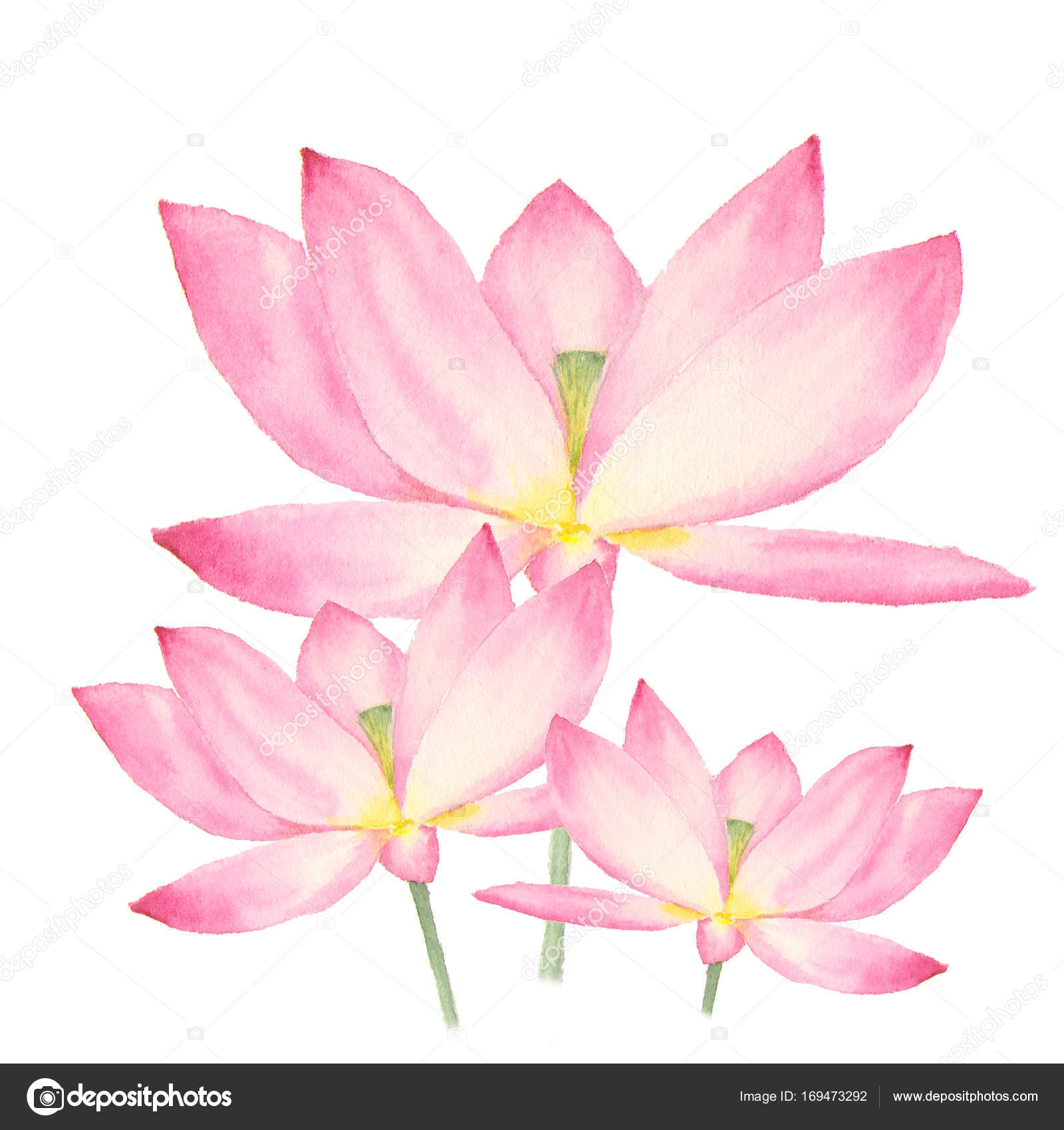 Botanical Watercolor Illustration Of Lotus Flowers On White