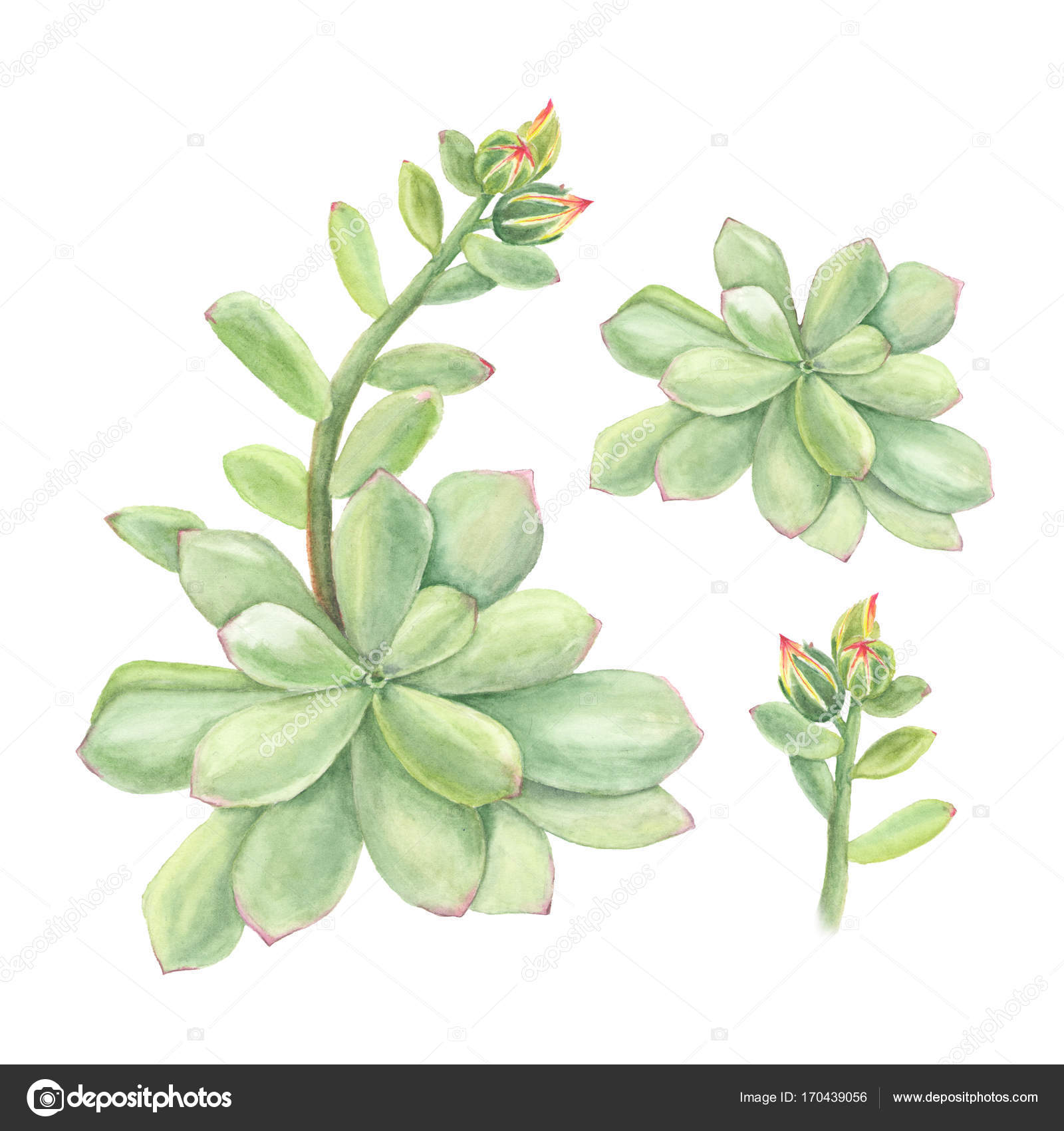 Botanical Watercolor Illustration Of Succulent Echeveria With Branch