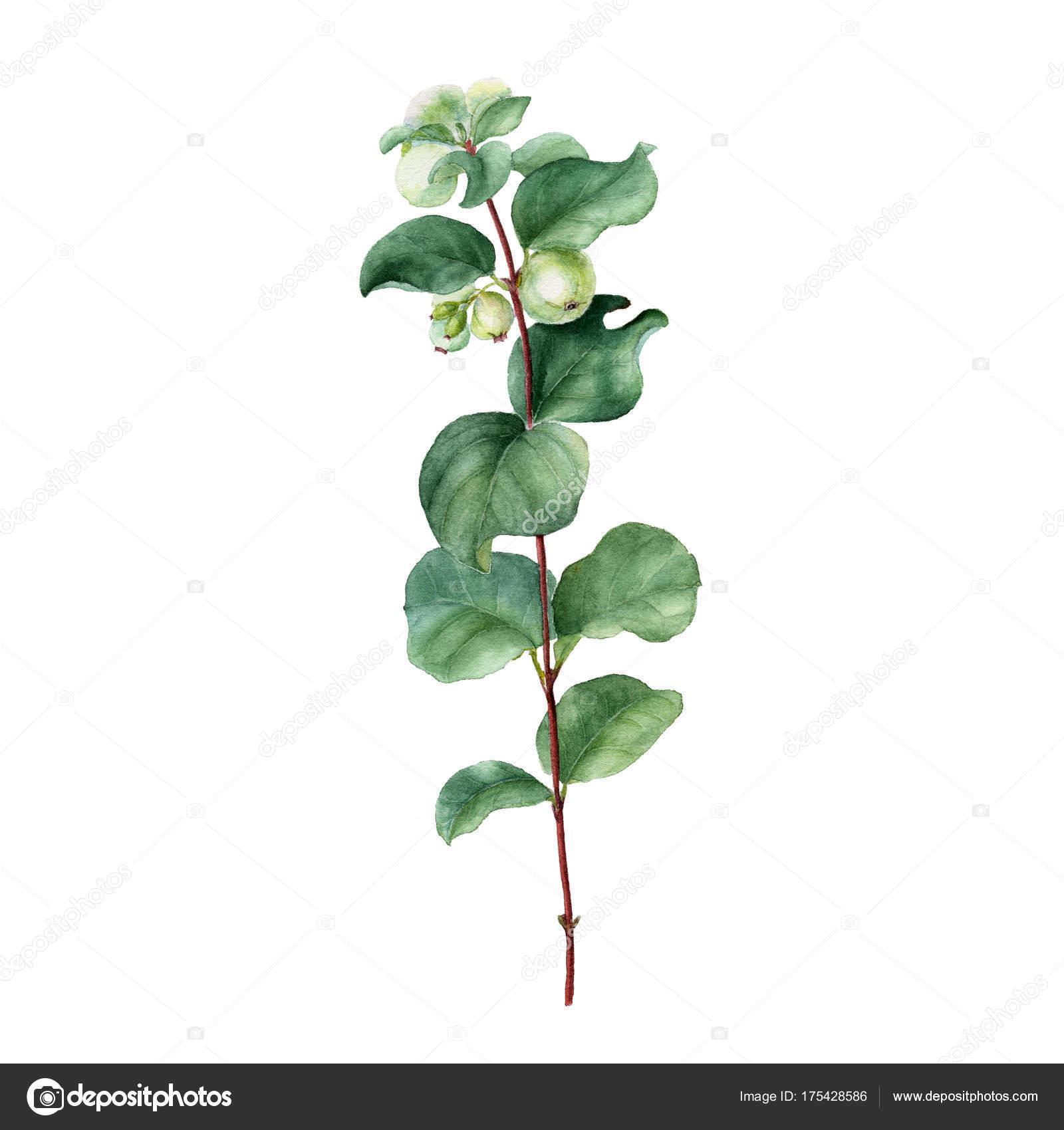 Aquarell Winter Stil Pflanze. Handgezeichnete botanischen isoliert ...
