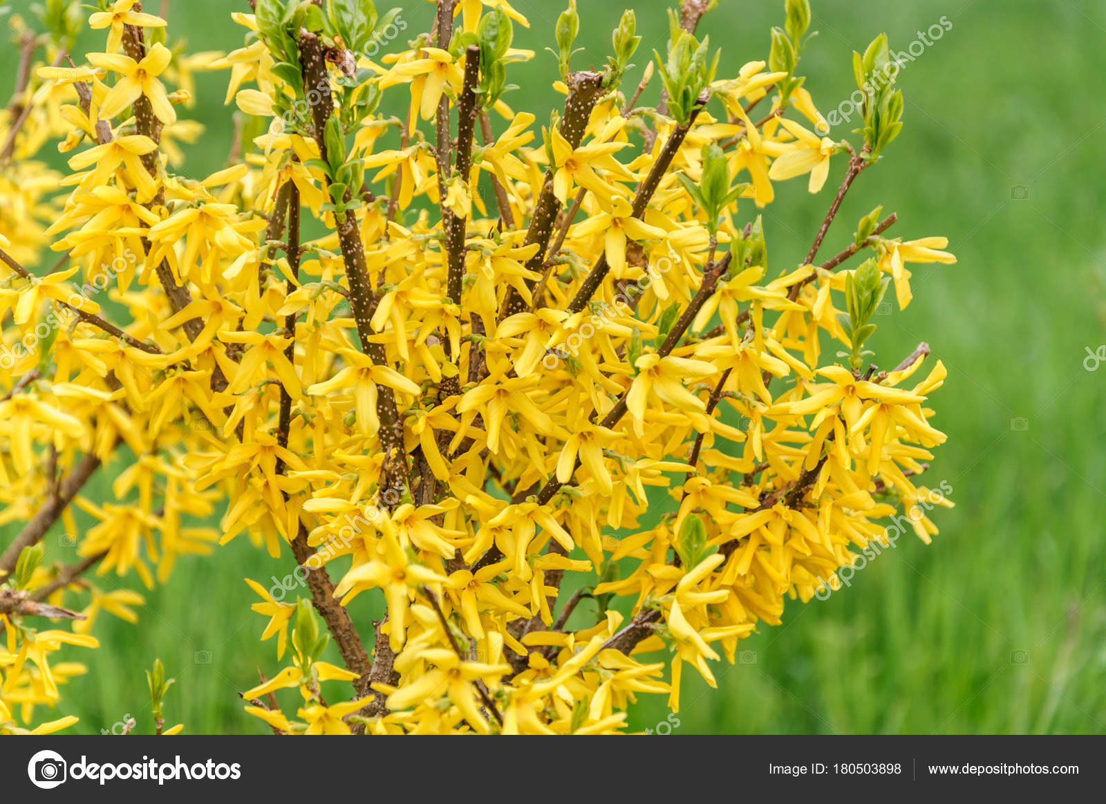 Forsythia Flowers In Front Of With Green Grass Golden Bell