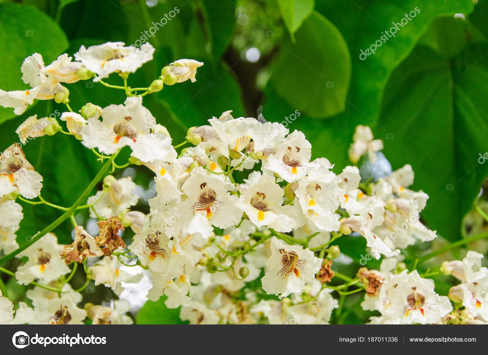 Tree With Large White Flowers Catalpa Bignonioides Stock Photo