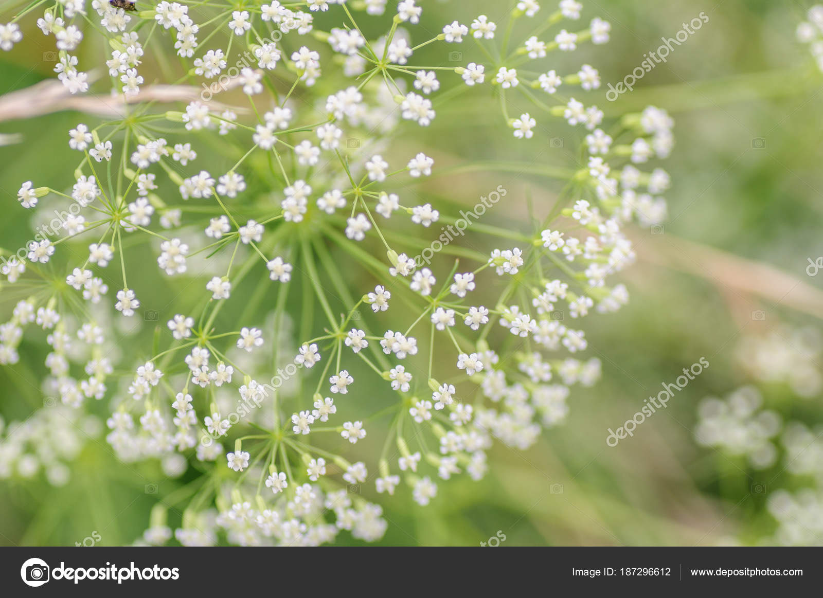 White Umbrella Of The Blossoming Goutweed Close Up Macro Small