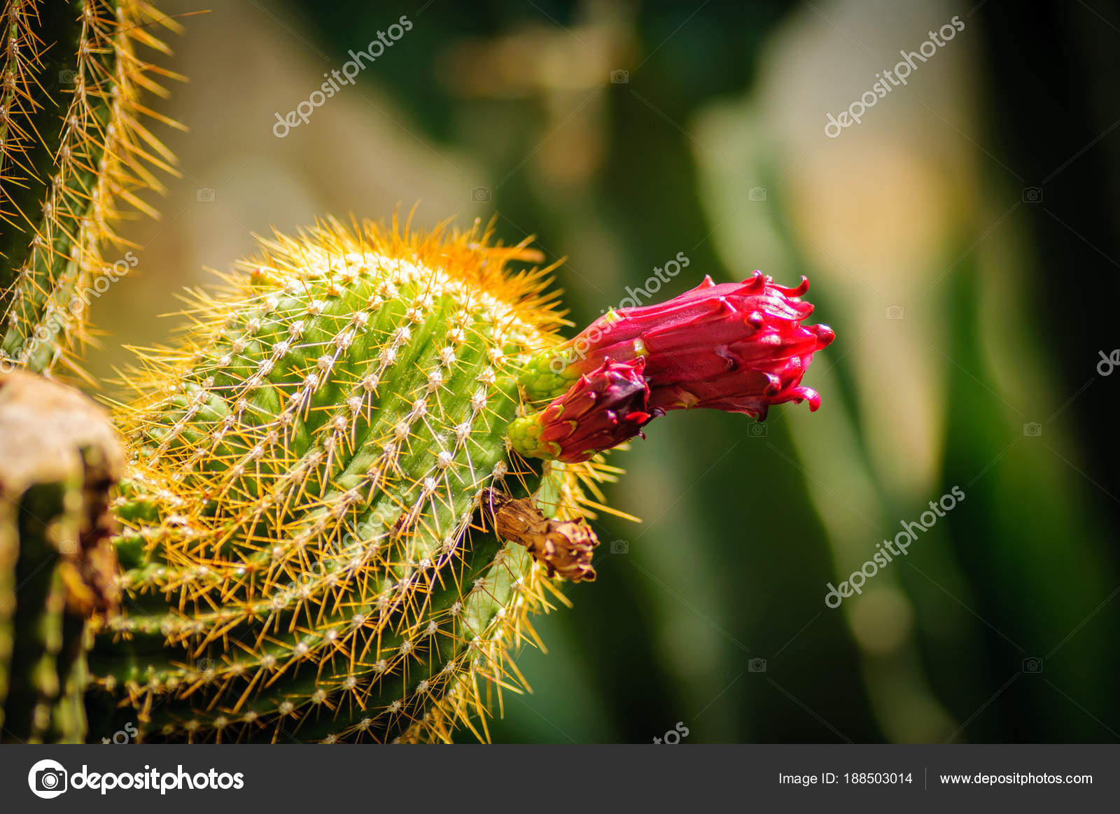 Closeup Of A Beautiful Pink Tender Cactus Flower And Green Thorny