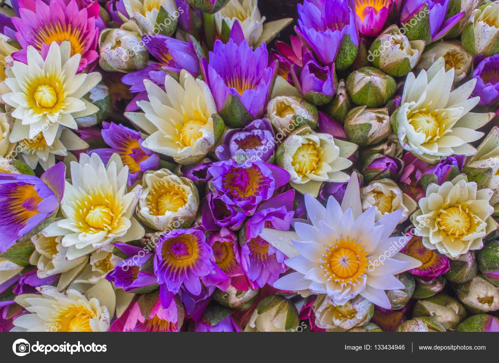 Multi Color Of Lotus Flowerspurple Lotus Flower With Yellow