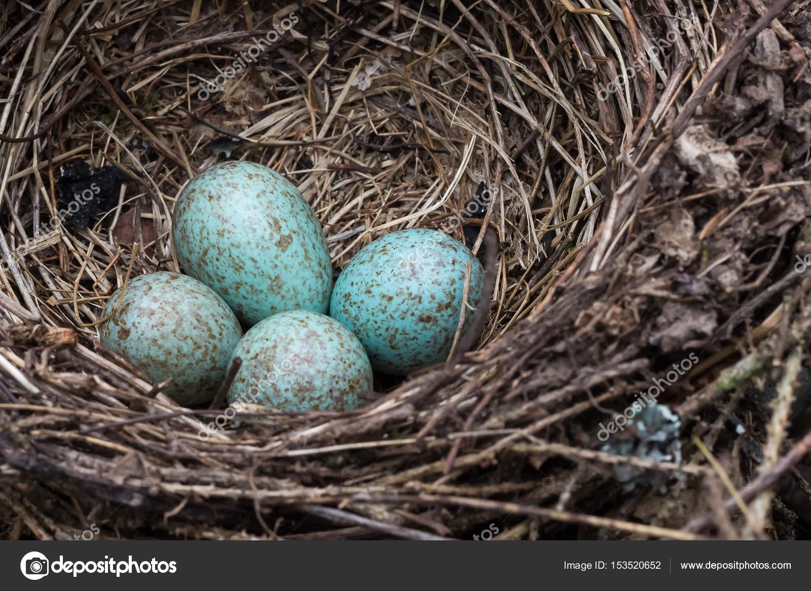 blue jay eggs - 800×533