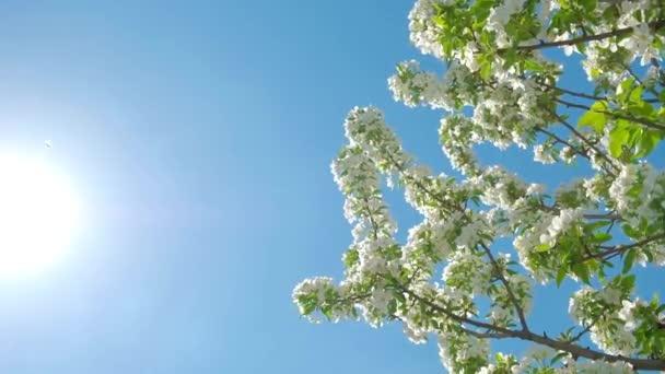 tavaszi virág-gyümölcs fák körte virágok ágai egy ragyogó napsütéses napon