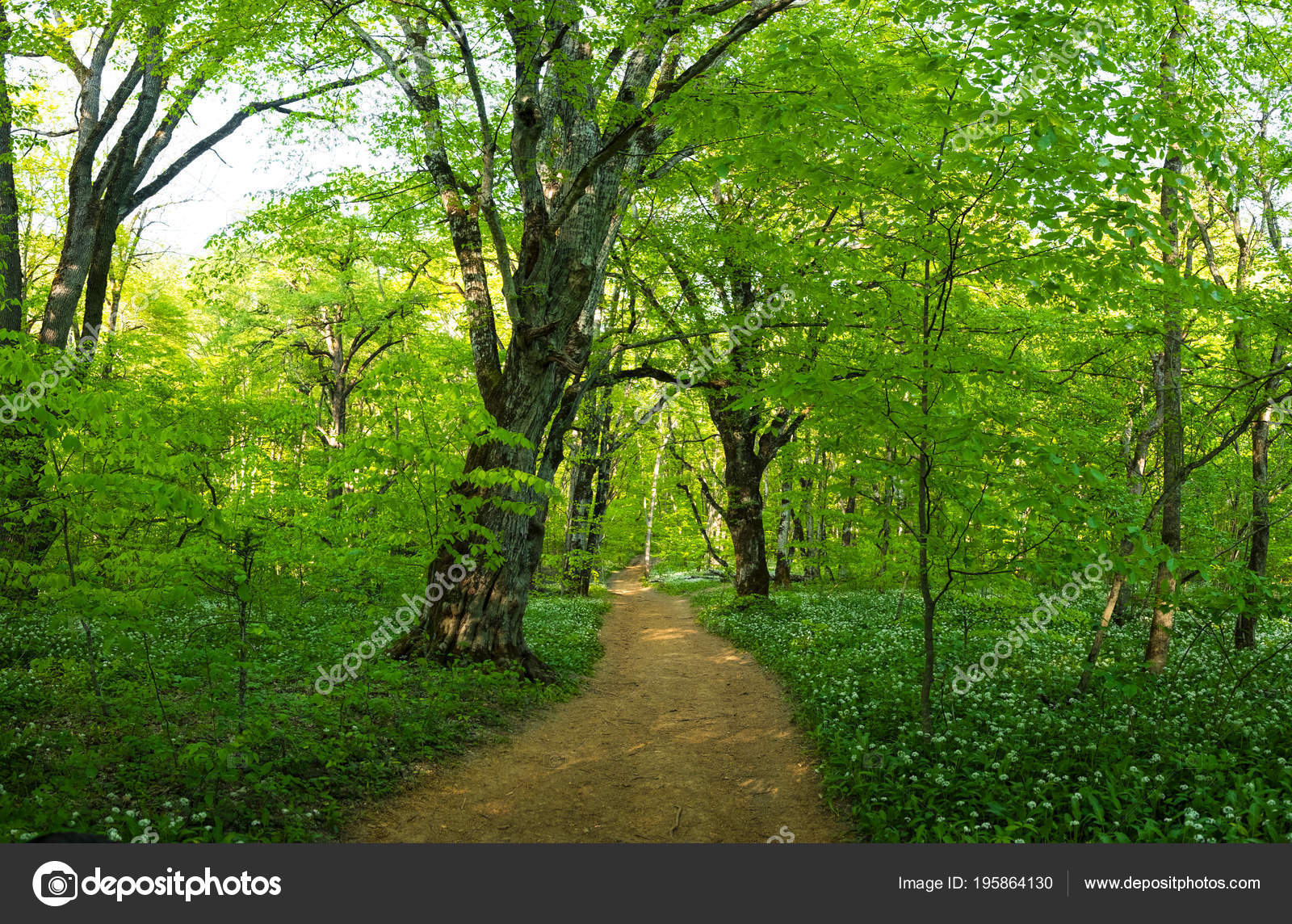 Green Trees Young Bright Foliage Thickets Dense Forest Adygea Summer ...