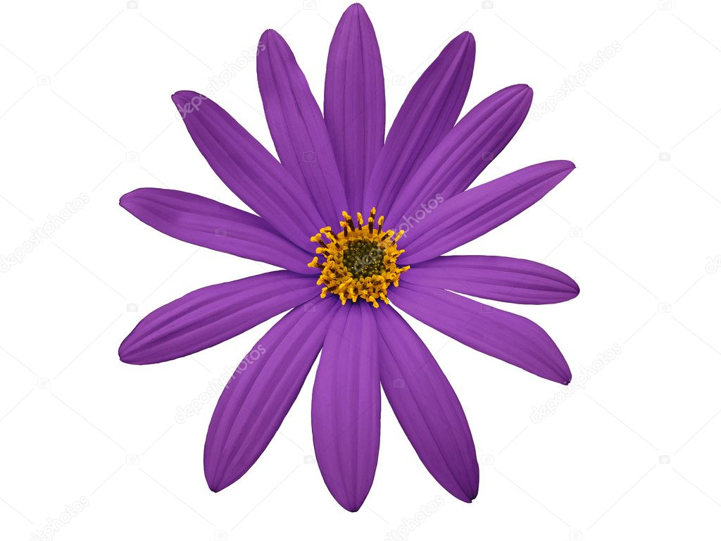 Garden purple flower, white isolated background with clipping path ...