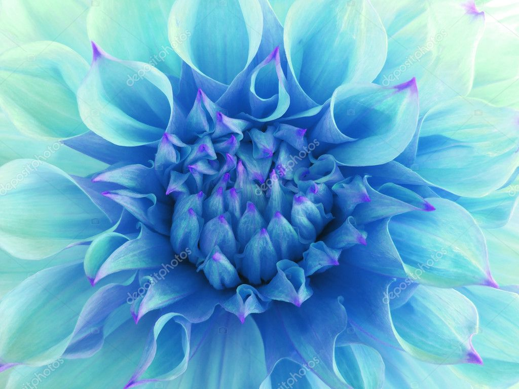 turquoise dahlia  flower.  Close-up. Macro.