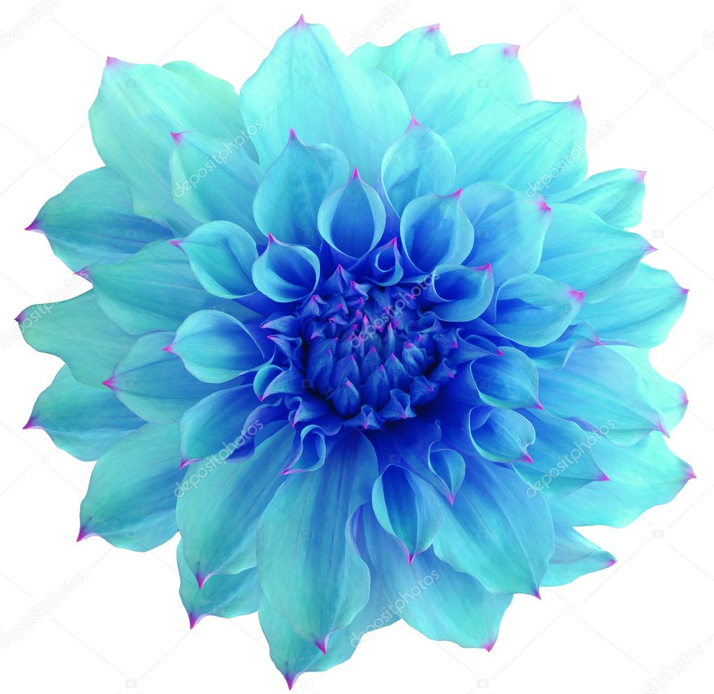 Dahlia Blue. Flower, White Background Isolated With
