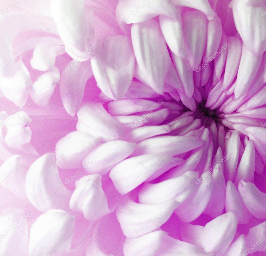 white  purple  pink     chrysanthemum flower.  Closeup. Macro. Nature.