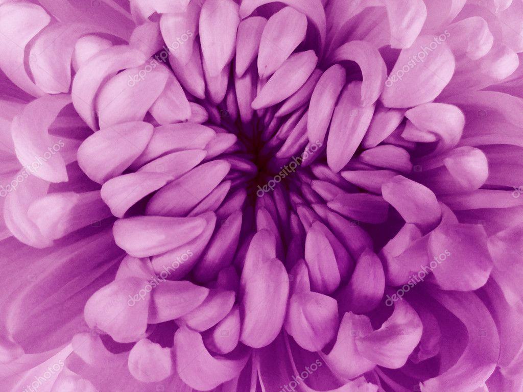 White  chrysanthemum flower.  Closeup .Macro. Nature.